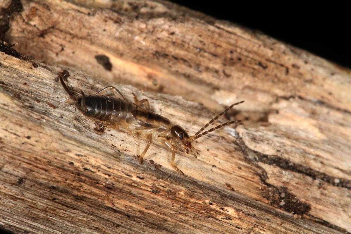 Earwig Control in Lehi UT | Eagle Mountain | H2 Pest Control