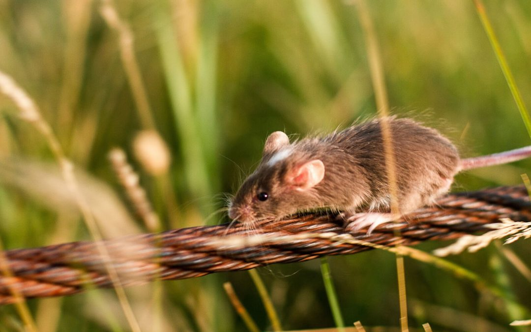 6 Effective Ways to Crush a Mice Infestation Before Fall Hits